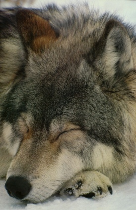 kavikwolf sleeping :o)